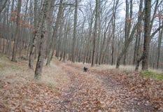 Cão de caça do spaniel que corre na floresta do outono imagens de stock