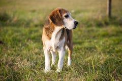 Cão de caça esperto do lebreiro do puro-sangue bonito no pasto do verão Imagens de Stock