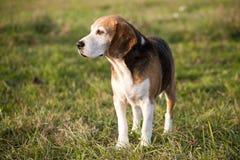 Cão de caça esperto do lebreiro do puro-sangue bonito no pasto do verão Fotografia de Stock