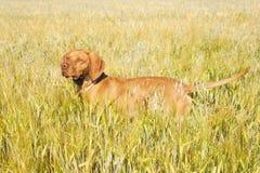 Cão de caça na grão de amadurecimento Dia de verão quente Caça húngara de Viszla do ponteiro Imagens de Stock Royalty Free