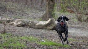 Cão de caça que corre no parque, buscando a bola video estoque