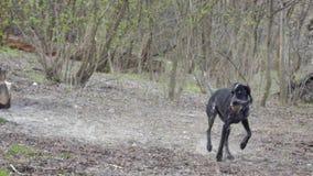 Cão de caça que corre no parque, buscando a bola vídeos de arquivo