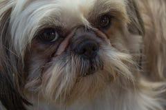 Cão de cabelo Foto de Stock Royalty Free