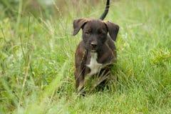 Cão de cachorrinho Imagens de Stock Royalty Free