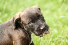 Cão de cachorrinho Foto de Stock Royalty Free