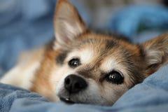 Cão de cachorrinho Fotografia de Stock