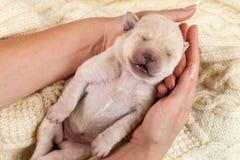 Cão de cachorrinho amarelo recém-nascido de Labrador que dorme nas mãos da mulher Fotografia de Stock Royalty Free