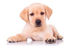 Cão de cachorrinho assentado adorável de labrador retriever fotografia de stock royalty free