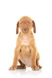 Cão de cachorrinho assentado do viszla imagem de stock