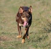 Cão de cachorrinho australiano do Kelpie que corre à velocidade máxima imagens de stock