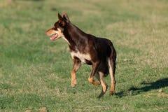 Cão de cachorrinho australiano do Kelpie que corre à velocidade máxima fotografia de stock royalty free