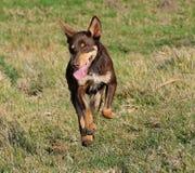 Cão de cachorrinho australiano do Kelpie que corre à velocidade máxima fotografia de stock