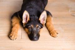 Cão de cachorrinho bonito cansado que olha acima Imagem de Stock