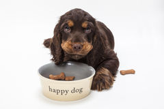 Cão de cachorrinho bonito de cocker spaniel que come biscoitos na bacia Imagens de Stock Royalty Free