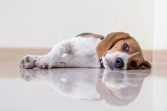 Cão de cachorrinho bonito do lebreiro do retrato Imagens de Stock Royalty Free
