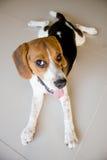 Cão de cachorrinho bonito do lebreiro do retrato Fotografia de Stock