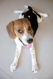 Cão de cachorrinho bonito do lebreiro do retrato Imagens de Stock