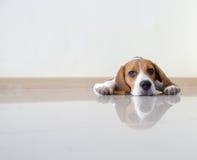 Cão de cachorrinho bonito do lebreiro do retrato Fotos de Stock Royalty Free