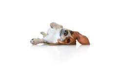 Cão de cachorrinho bonito do lebreiro do retrato Fotos de Stock