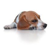 Cão de cachorrinho bonito do lebreiro do retrato Foto de Stock Royalty Free