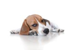 Cão de cachorrinho bonito do lebreiro do retrato Imagem de Stock Royalty Free