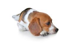 Cão de cachorrinho bonito do lebreiro do retrato Fotografia de Stock Royalty Free