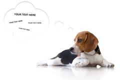 Cão de cachorrinho bonito do lebreiro do retrato no fundo branco com bub do texto Imagem de Stock Royalty Free