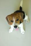 Cão de cachorrinho bonito do lebreiro do retrato que olha acima Fotos de Stock Royalty Free