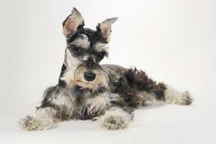 Cão de cachorrinho bonito do Schnauzer diminuto no fundo branco foto de stock