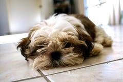 Cão de cachorrinho bonito do tzu do shih do animal de estimação imagens de stock royalty free