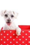 Cão de cachorrinho bonito em uma caixa vermelha do coração do amor Imagem de Stock Royalty Free