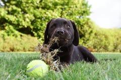 Cão de cachorrinho bonito de Labrador que encontra-se para baixo na grama com bola de tênis e que come a grama Fotos de Stock Royalty Free