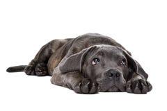 Cão de cachorrinho cinzento do corso do bastão Fotos de Stock