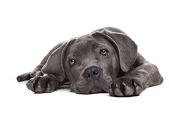 Cão de cachorrinho cinzento do corso do bastão Imagem de Stock