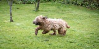 Cão de cachorrinho de Briard Imagem de Stock Royalty Free