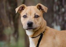 Cão de cachorrinho de Pit Bull Terrier Imagem de Stock
