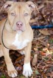 Cão de cachorrinho de Pit Bull Terrier Foto de Stock Royalty Free