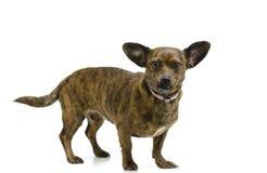 Cão de cachorrinho do bassê da chihuahua de Chiweenie fotografia de stock