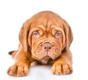 Cão de cachorrinho do Bordéus do close up que encontra-se na vista dianteira Isolado no branco Imagens de Stock Royalty Free