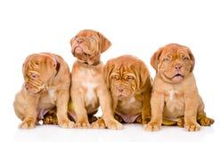 Cão de cachorrinho do Bordéus do grupo No fundo branco Foto de Stock