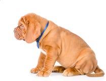 Cão de cachorrinho do Bordéus do retrato que senta-se no perfil Isolado no branco Fotos de Stock