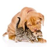Cão de cachorrinho do Bordéus que morde o gatinho de bengal Isolado no backg branco Fotografia de Stock