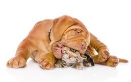 Cão de cachorrinho do Bordéus que morde o gatinho de bengal Isolado no branco Fotografia de Stock Royalty Free