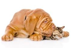 Cão de cachorrinho do Bordéus que morde o gatinho de bengal Isolado no branco Foto de Stock Royalty Free