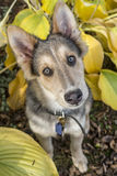 Cão de cachorrinho do cão de puxar trenós & do Colley Imagens de Stock
