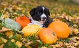 Cão de cachorrinho do Corgi com uma abóbora em um fundo do outono fotos de stock royalty free