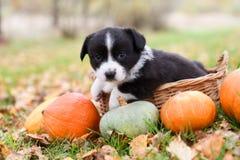 Cão de cachorrinho do Corgi com uma abóbora em um fundo do outono fotos de stock