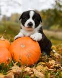 Cão de cachorrinho do Corgi com uma abóbora em um fundo do outono fotografia de stock royalty free