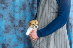 Cão de cachorrinho do Corgi que senta um bolso do avental Imagens de Stock Royalty Free