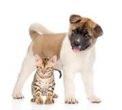 Cão de cachorrinho do inu de Akita do japonês que está com gatinho de bengal junto Imagens de Stock Royalty Free